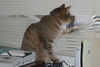 el gato espía nunca pierde de vista a su presa